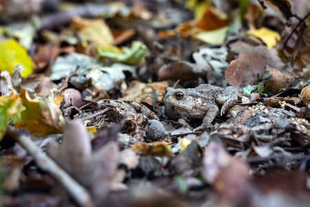 ground frog disguised among the leaves and branches in the forest