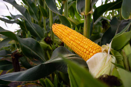corn in the field during the ripening period. cobs filled with coarse grain.