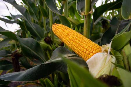 maíz en el campo durante el período de maduración. mazorcas rellenas de grano grueso.