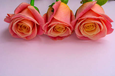 fresh, delicate roses on a pink background.