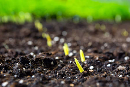 sprouts of corn sown in rows, against the background of soil.