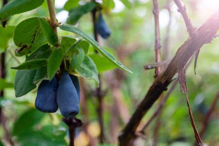 ripe blue honeysuckle berries on a bush during harvest. Stock Photo