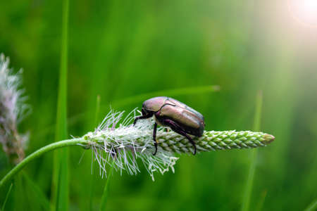 mother-of-pearl beetle sits on a blade of grass in a meadow.