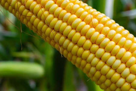 broken corn stalk with a thin stem and large grain.
