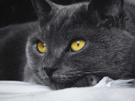 british pussy: British blue cat with yellow eyes lying on the bed
