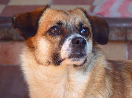 occhi tristi: Close-up ritratto di un cane domestico con gli occhi tristi.