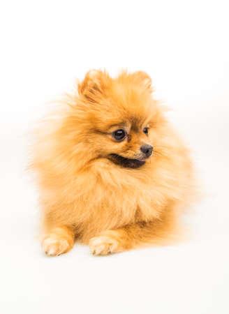 pomeranian: Pomeranian dog isolated on white.