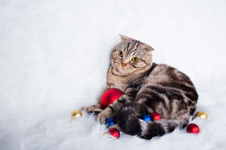christmas pussy: Cute Scottish Fold with Christmas balls on white fur. Stock Photo