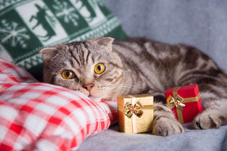 christmas pussy: Cute Scottish Fold with gift boxes on gray sofa. Stock Photo