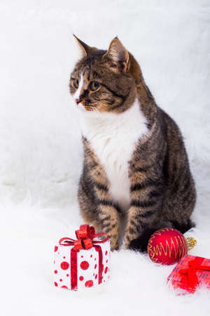 christmas pussy: Cute cat with gift box and hristmas ball on white fur. Stock Photo