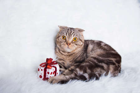 christmas pussy: Cute Scottish Fold with gift box on white fur.