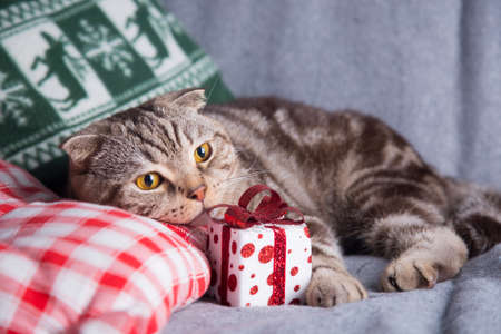 christmas pussy: Cute Scottish Fold with gift box on gray sofa.