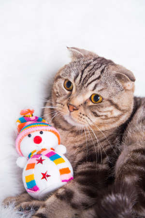 christmas pussy: Cute Scottish Fold with toy snowman on white fur.