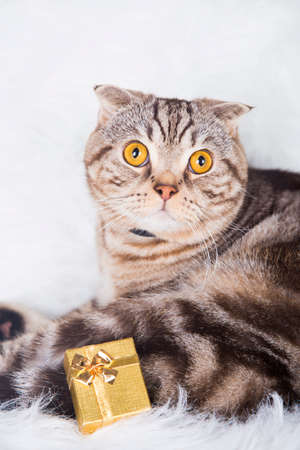 christmas pussy: Cute Scottish Fold with golden gift box on white fur. Stock Photo