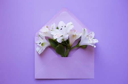 Beautiful tender bouquet of white Alstroemeria in lilac envelope on purple background. Spring composition. Springtime card. Stock Photo