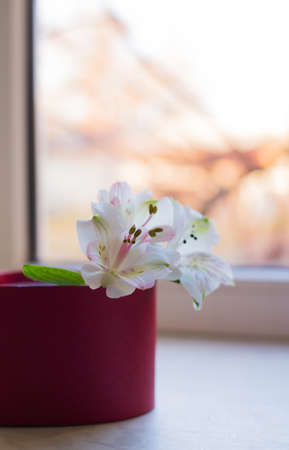 Bouquet of beautiful tender white Alstroemeria in red box near sunny window. Spring composition. Mother`s day card. Stock Photo