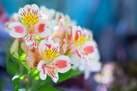 Beautiful bouquet of colorful alstroemeria flowers outdoor in daylight on blurred blue background.
