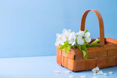 Bouquet of beautiful tender white flowering branches in wicker basket on blue wooden background. Spring composition.
