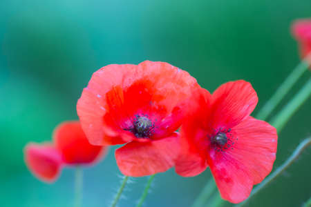 Red poppies flowers outdoor in daylight on green blurred background. Summer blossom.