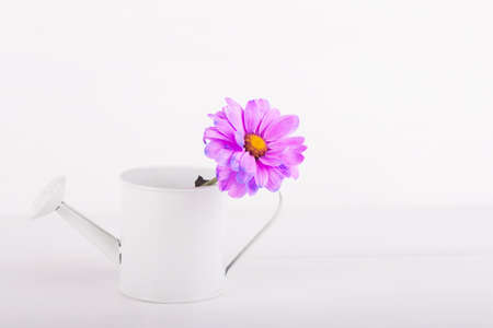 Closeup little white watering can with single flower of purple chrysanthemum on white wooden background. Spring card with empty space.