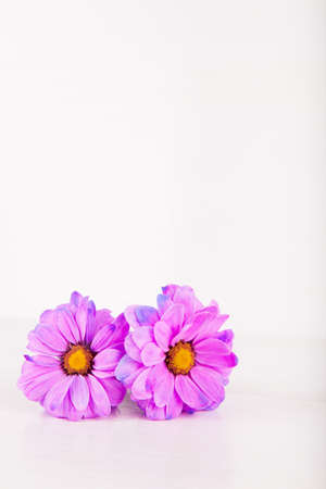 Two beautiful purple chrysanthemum flowers on white wooden background. Spring card with empty space. Stock Photo