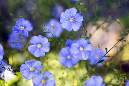 Blue flax flowers outdoor in daylight with blurred background. Spring blossom.