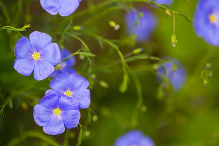 Close-up blue flax flowers on sunny day. Spring outdoor blooming background with empty blurred space.
