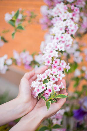 Female young hands holding pink Weigela flowers on bush on sunny day. Spring outdoor blooming background with empty blurred space. Stock Photo