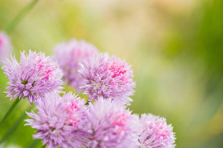 Close-up chives onions pink heads outdoor in garden on green blurred background.