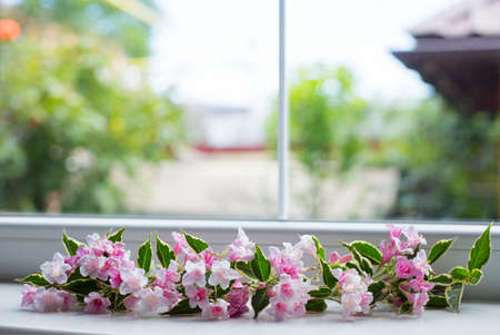 Window framed by tender flowering pink Weigela branch. Spring background with empty space.