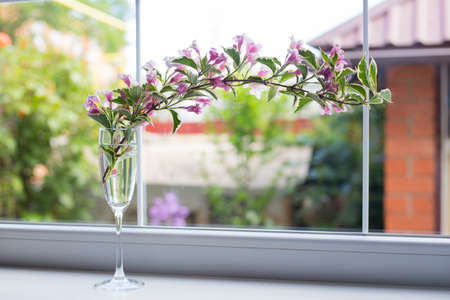 Glass goblet with flowering tender Weigela branch near window in daylight. Spring composition.