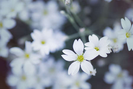Close-up beautiful white flowers on daylight blurred background. Vibrant spring outdoor blossom. Empty space. Gypsophila repens Filou White Stock Photo