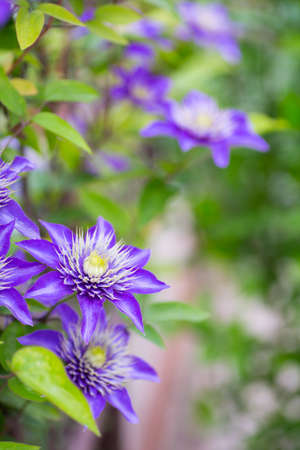Closeup purple clematis flowers outdoor in garden. Spring natural photo. Stock Photo