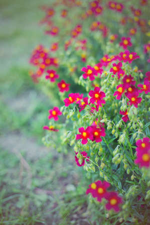 Small dark-red flowers in garden in summer on sunny day, vibrant color. Stock Photo