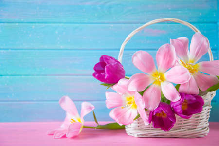 Tender bouquet of beautiful pink tulips in white basket on blue wooden background. Spring blooming flowers.