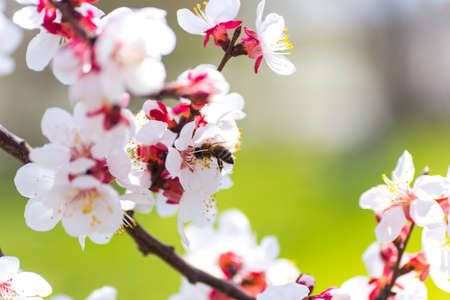 Closeup bee collecting pollen from spring flowers on tree branch with blurred background. Natural scene, copy space.