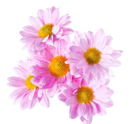 white daisy: Chrysanthemum flowers heads with rain drops isolated on white shoot from above