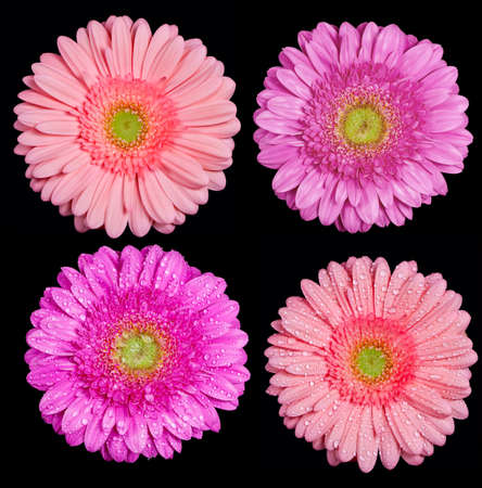 Several gerbera flowers isolated on black photo