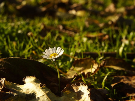 asterids: Daisy flower with autumn leaves Stock Photo