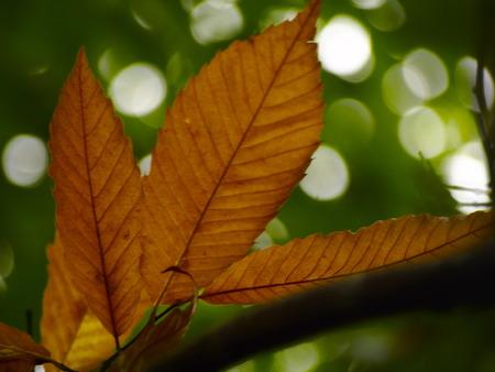 castanea sativa: Castanea sativa leaves Stock Photo