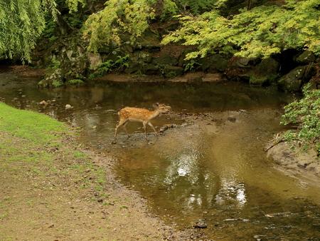 baby deer: Baby deer in a small river Stock Photo