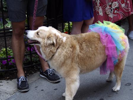 trans gender: Dog in the Gay Pride Parade