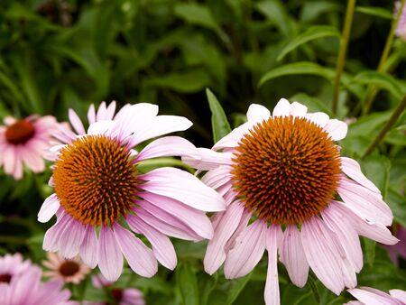 purpurea: Two echinacea purpurea