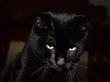 ojos negros: Gato negro con ojos amarillos  Foto de archivo