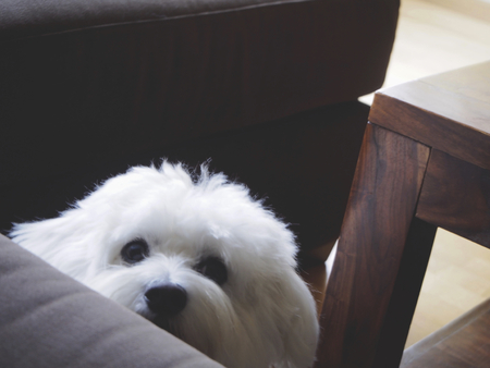 maltese: Maltese dog looking at its own Stock Photo