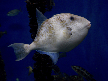 triggerfish: Triggerfish grey - Balistes carolinensis Stock Photo