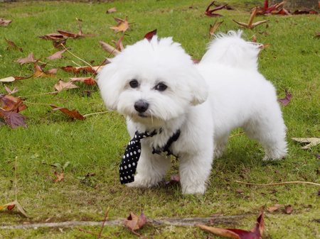 mope: Cute bichon maltese mope with a tie in a park