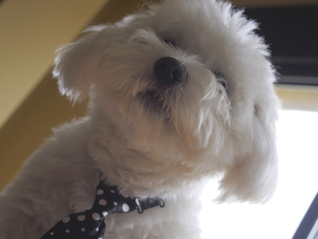 mope: Bichon maltese With mope tie Stock Photo