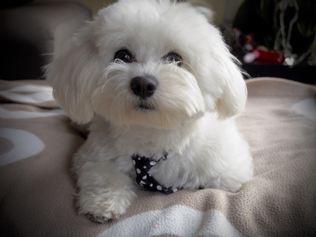 mope: Cute bichon maltese With mope tie Stock Photo