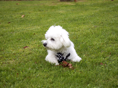 mope: Cute bichon maltese lying in the park